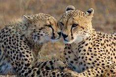 Cheetahs tend to encounter conflict with farmers when loss of their natural prey leads them to attack livestock, and farmers kill them, as pests, in retaliation.