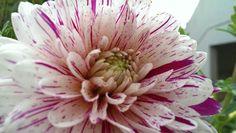 Dahlia... Mobile Photography, Dahlia, Plants, Plant, Dahlias, Planets