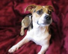 Evee (adores kids, great with dogs!) is an adoptable Beagle Dog in High Point, NC. Evee is a delightful 1 year old Beagle mix pup. She's about 26# . Evee is great with both people and dogs and she bon...