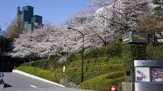 Japanese Cherry Blossom. Taken at Hotel Okura located in Minato-ku, Tokyo.