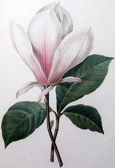 Magnolia art print vintage Botanical Art Prints by AntiqueWallArt Illustration Blume, Illustration Botanique, Botanical Illustration, Antique Illustration, Vintage Botanical Prints, Botanical Drawings, Vintage Flower Prints, Antique Prints, Arte Floral