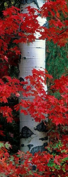 Ideas Silver Birch Tree Garden Aspen For 2019 Beautiful World, Beautiful Places, Beautiful Pictures, Nature Pictures, Simply Beautiful, Plantation, Autumn Leaves, Red Leaves, Maple Leaves