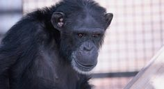 "GFAS accredited Chimpanzee Sanctuary Northwest, located on 26 acres in Cle Elum, Washington, is the home to 7 former lab chimps. Read about the ""Cle Elum Seven"" on the sanctuary's website (each of the chimps has his or her own Facebook page too!), and learn about the sanctuary's ""Primate Patrol,"" a program that advocates against the use of primates in entertainment."