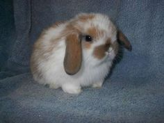 """""""Holland Lop Bunnies For Sale 