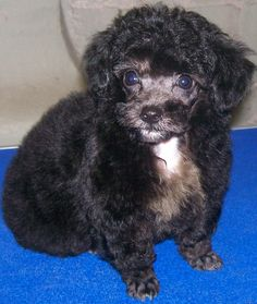 NC - Toy Poodle puppy