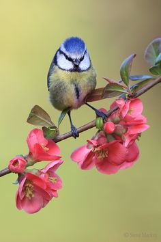 rua-das-flores: Blue Tit on Japonica blossoms 🌸 (by Steve Mackay) Pretty Birds, Love Birds, Beautiful Birds, Animals Beautiful, Cute Animals, Beautiful Pictures, Small Birds, Little Birds, Colorful Birds