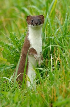 The stoat (Mustela erminea), also known as the ermine or short-tailed weasel, is a species of Mustelidae native to Eurasia and North America, distinguished from the least weasel by its larger size and longer tail with a prominent black tip.