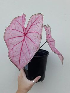 In love with this translucent pink beauty! ❤What variety is this? Room With Plants, House Plants Decor, Plant Decor, Garden Plants, Indoor Plants, Belle Plante, Plants Are Friends, Plant Aesthetic, Pink Plant