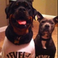 My baby boys- pit bull & rottweiler amazing sonnys!