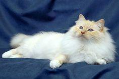Birman   Birman Cat Club of Canberra Inc.