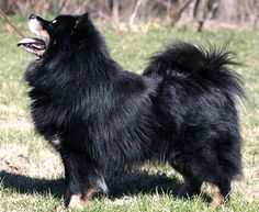Finnish LapphundFinnish Lapphund   This dog is best known as a reindeer herding dog from Scandinavia. It is now popular as a family pet in Finland.  Westminster Kennel Club -