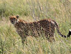 Africa Tanzania (Tanzania) Tanzania, Panther, Safari, Africa, Animals, Animales, Animaux, Animais, Afro
