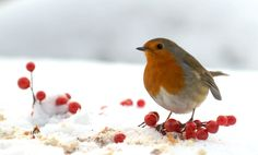 Beautiful Robin in the snow - Hmmph! It's nearly June and all I get is frozen dinners!