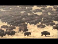 1300 buffalo pound through park at annual roundup in Utah
