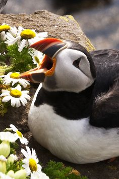 ATLANTIC PUFFIN IN ICELAND --http://www.examiner.com/article/great-global-hotspots-for-wildlife-travelers-and-photographers