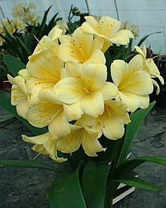 Clivia 'Butterbaby'