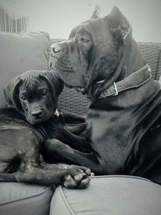 From ' Cane Corso - the past and the present '
