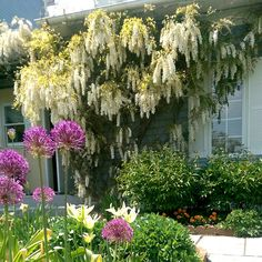 Wysteria plants make the perfect accent to any Virginia country garden! #Virginia #Country #beautiful #Spring #ShenandoahValleyInn #LAubergeProvencale