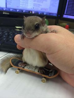 This is Biscuits. The little baby was found on the ground by someone just walking by on the sidewalk. Biscuits is a southern flying squirrel was half-dead, baking in the Florida sun. The man took her in immediately and began rehabilitating her. He was told by others that he didn't have enough experience to save her and that she would die. As it turns out… they were all wrong. His love and devotion to this little squirrel saved her. Her recovery is one of the cutest things ever.
