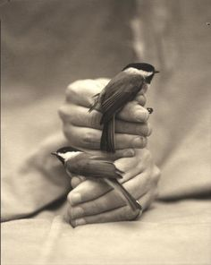 Victor Schrager (American, b. Black-capped Chickadees, 1997 ©Victor Schrager/Courtesy of Edwynn Houk Gallery Pierre Bernard, Carnival Of The Animals, Black Capped Chickadee, American, Decir No, Timeless Photography, Creatures, Tweet Tweet, Ivy House