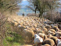 Flock of sheep following their shepherd