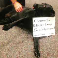 Lulu is thankful to her Manners Obedience Training for teaching her how to get belly rubs!!!! #dogboasting #caninecompany #caninemanners #dogtraining #gooddog #bellyrubs #blacklabs