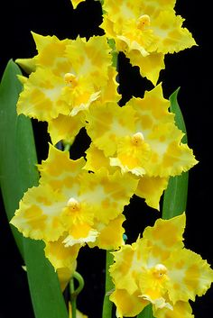 Odontioda (Odontoglossum Parade x Odontioda Quennevais) 'Sunspots