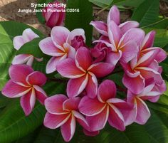 """Synchronicity - Gorgeous 3"""" pink blooms feature large peach center and heavy veins throughout the petals. Semi-compact growth habit, nicely scented flowers."""