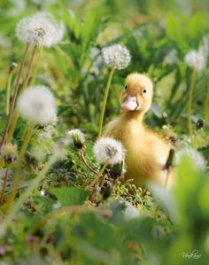 adorable little duckling