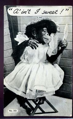 Chimpanzee in a dress Monkey See Monkey Do, Ape Monkey, Monkey Art, Monkey Humor, Zoo Animals, Cute Animals, Monkey Tattoos, Funny Dresses, Planet Of The Apes