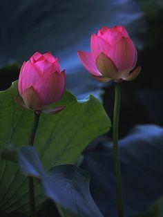 Two beautiful lotus bud