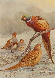 1930s Ring Necked Pheasant Bird Print, Vintage Allan Brooks Color Book Plate 227-1 Antique Bird Illustration Art, Natural History (To Frame)
