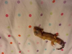 My Leopard Gecko, Nora, licking her nose.