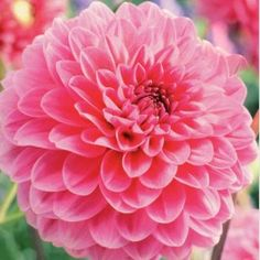 Decorative Dahlia Marathon Man Tubers £1.95