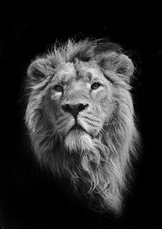 Super Tattoo Lion Black And White Big Cats Ideas Lion Images, Lion Pictures, Big Cats, Cats And Kittens, Asiatic Lion, Lion Photography, Lion Poster, Le Roi Lion, Royal Look