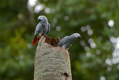 African Grey Parrots, Entebbe, Uganda, by Sean Crane Someday I will see them in the wild. I already see them in my home :) Best Pet Birds, Racing Pigeons, African Grey Parrot, Parrot Bird, Travel Memories, Afrikaans, Africa Travel, Bird Watching, Bird Art