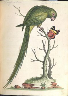 The Long-tailed Green Parakeet. by Library & Archives @ Royal Ontario Museum, via Flickr