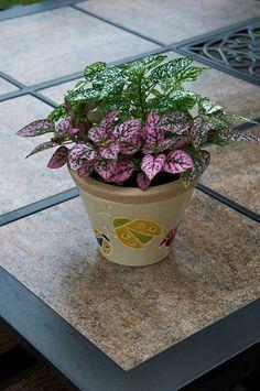Polka-dot plant, (Hypoestes phyllostachya)