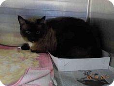 3/1/17 URGENT! Fort Lauderdale, FL - Siamese. Meet A1874825, a cat for adoption.  Broward County Animal Care & Adoption Pet ID #: 11084805-A1874825 Phone: (954) 359-1313  http://www.adoptapet.com/pet/17596075-fort-lauderdale-florida-cat