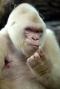 He was called Snowflake, the only known albino gorilla in the world, lived in Barcelona Zoo from 1964 until his death in 2003.