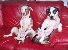 Angel, the 2 year old tan and white American Pit Bull Terrier and Wizzy, the 4 year old brindle and white Pit