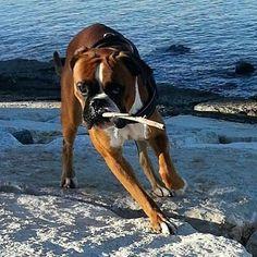 Boxer Dog || Thankyou @martasciancalepore #boxerlovedaily #boxerlovealways…