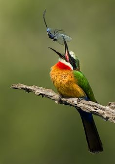 The White-fronted Bee-eater - Merops bullockoides, is a species of bee-eater widely distributed in sub-equatorial Africa. Photo by...
