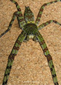 Philth's non-theraphosid mygalomorph and true spider photo thread. Scary Bugs, Cool Bugs, Cool Insects, Bugs And Insects, Weird Creatures, All Gods Creatures, Beautiful Creatures, Animals Beautiful, Spiders And Snakes