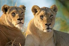 Female lions in Murchison falls national park Uganda.