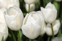 Find images and videos about white, flowers and tulips on We Heart It - the app to get lost in what you love. White Tulips, White Flowers, Moon Garden, Tumblr, Shades Of White, Petunias, Trees To Plant, Flower Power, Outdoor Gardens