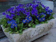 Primroses and anemones in a concrete tub