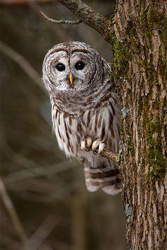 Barred Owl - Presqu'ile Provincial Park Ontario by Stephen Oachs