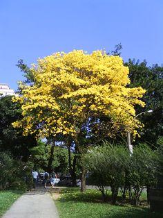 IPÊ AMARELO (Tabebuia serratifolia) tamanho grande chegando até 20 m de altura. Árvore grande com floração abundante e amarela, que desabrocham em dias secos e anunciam a proximidade da primavera, se destaca facilmente na mata no inverno. Floresce de agosto a novembro.