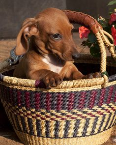 Doxie Gift Basket ♥️ Caitlin, is this your pup?